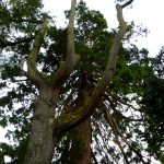 Bois mort Séquoia